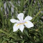 Iris taken at f8
